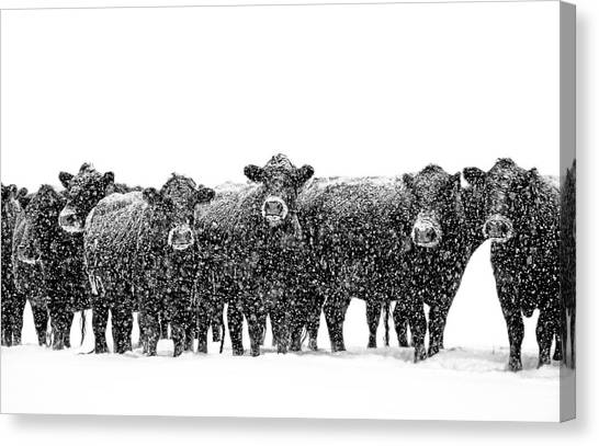 Frosty Faces Black Angus Cows Montana Canvas Print