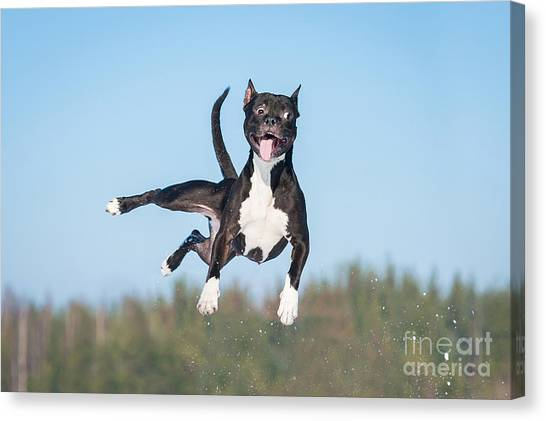 Happiness Canvas Print - Funny American Staffordshire Terrier by Grigorita Ko