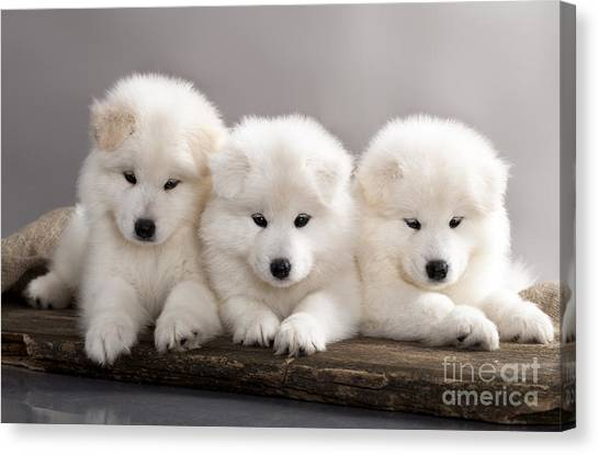 Russian Blue Canvas Print - Funny Puppies Of Samoyed Dog Or Bjelkier by Liliya Kulianionak