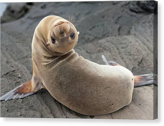 Fur Seal Otariidae Looking Back Upside Canvas Print