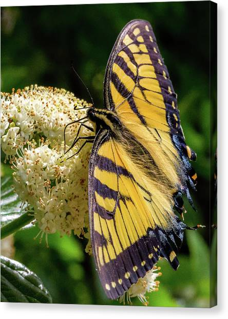 Fuzzy Butterfly Canvas Print