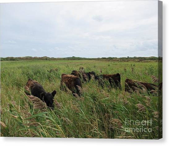 Galloway Cows On Texel North Holland Canvas Print