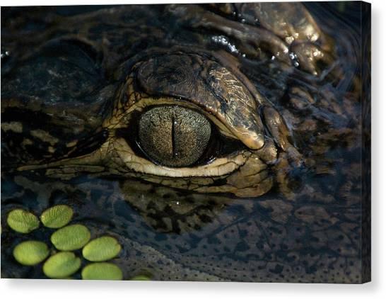 Gators Eye Canvas Print