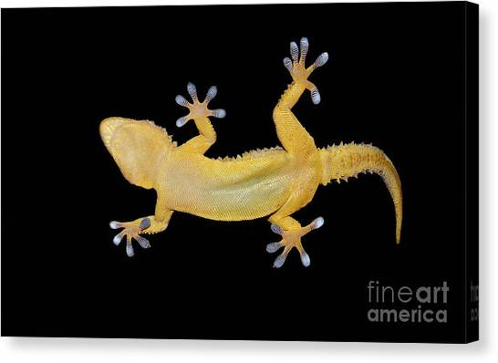 Zoology Canvas Print - Gecko Lizard On Clear Glass by Nico99