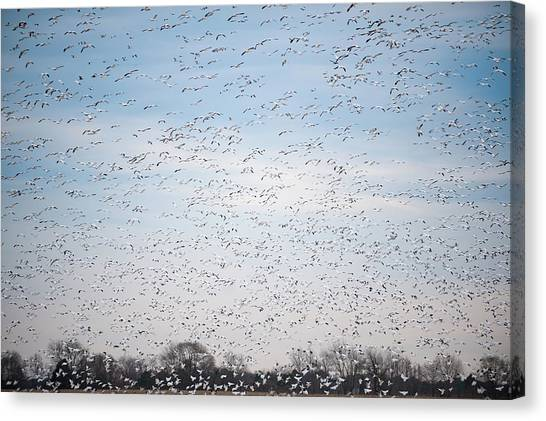 Geese In The Flyway Canvas Print
