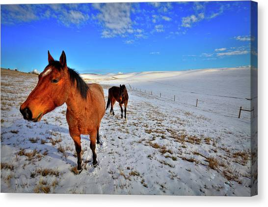 Canvas Print featuring the photograph Geldings In The Snow by David Patterson