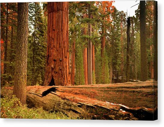 Oversized Canvas Print - General Grant Grove Trees by Pgiam