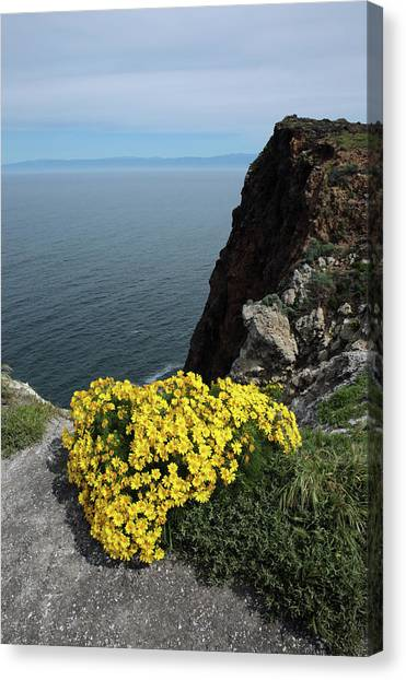 Giant Coreopsis Canvas Print by Robin Street-Morris