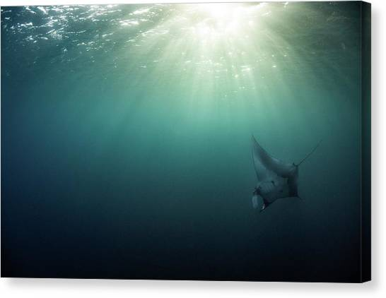 Giant Manta Ray Canvas Print