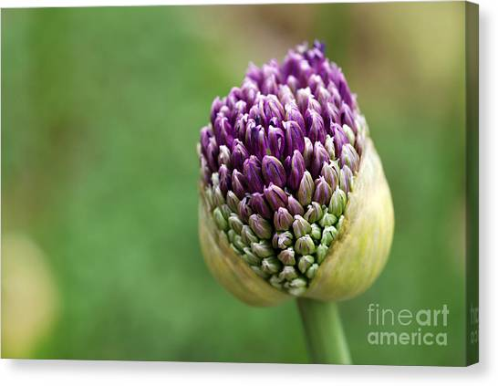 Perennial Canvas Print - Giant Purple Allium Bud Just Opening by Marie C Fields