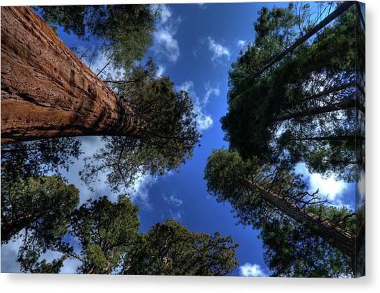 Giant Sequoias - 2 Canvas Print by Rhyman007
