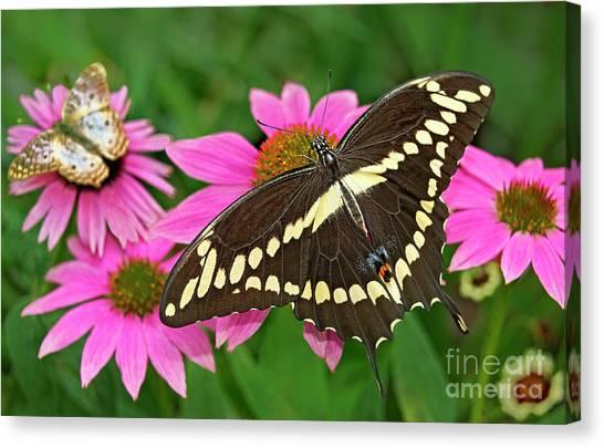 Giant Swallowtail Papilo Cresphontes Canvas Print