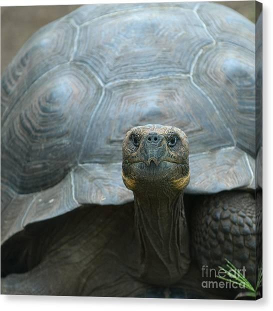 Zoology Canvas Print - Giant Turtle, Galapagos Islands, Ecuador by Javarman