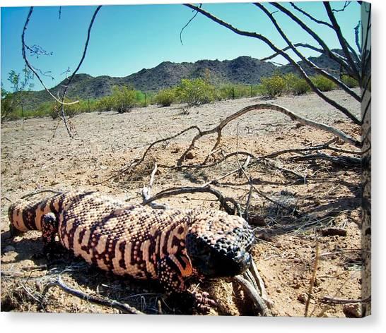 Gila Monster In The Arizona Sonoran Desert Canvas Print