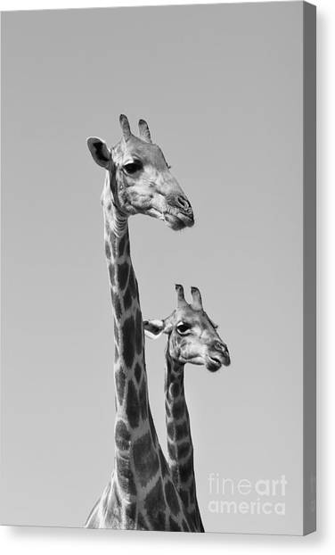 Grey Background Canvas Print - Giraffe - African Wildlife Background - by Stacey Ann Alberts