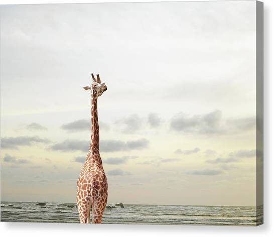 Giraffe Looking Out To Sea Canvas Print by Richard Newstead