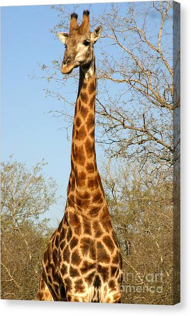 Giraffe Standing In The Trees Kruger Canvas Print by Paul Banton