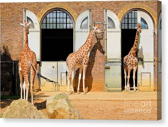 Zoology Canvas Print - Giraffes At The London Zoo In Regent by Kamira