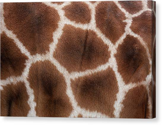 Giraffes Skin Texture Canvas Print by Andrew Dernie