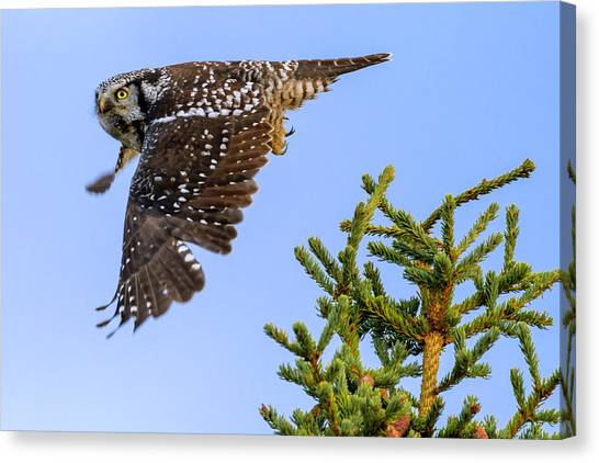 Hawks Canvas Print - Glance by Chad Dutson