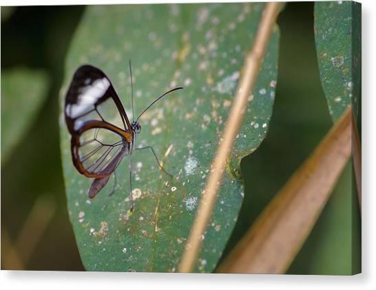 Glasswing Butterfly Jardin Botanico Del Quindio Calarca Colombia Canvas Print