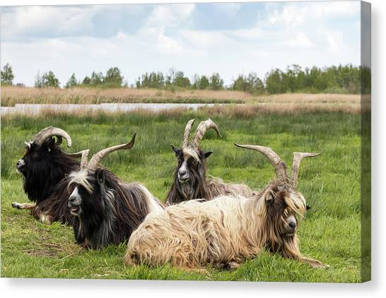 Canvas Print featuring the photograph Goats  by Anjo Ten Kate