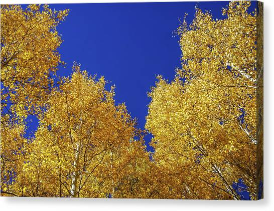 Golden Aspens And Blue Skies Canvas Print