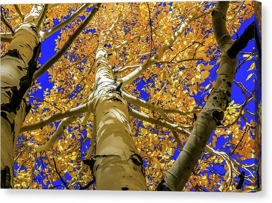 Golden Aspens In Grand Canyon Canvas Print