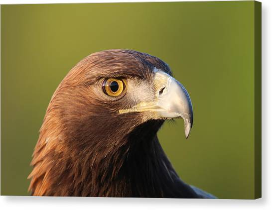 Golden Eagle 5151801 Canvas Print