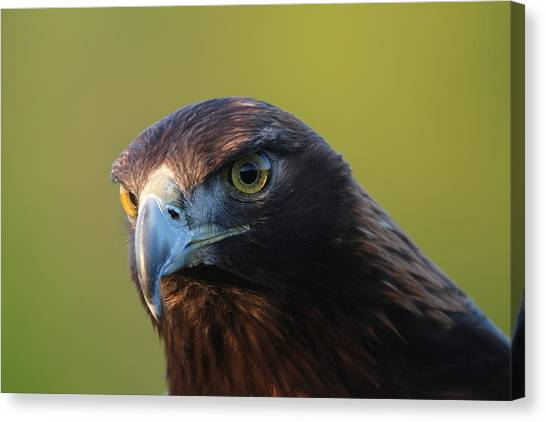 Golden Eagle 5151802 Canvas Print