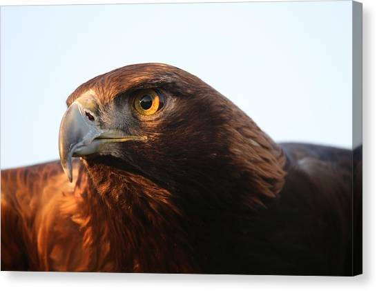 Golden Eagle 5151803 Canvas Print