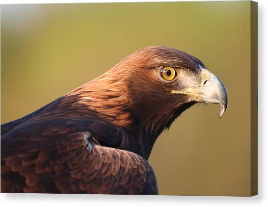 Golden Eagle 5151806 Canvas Print