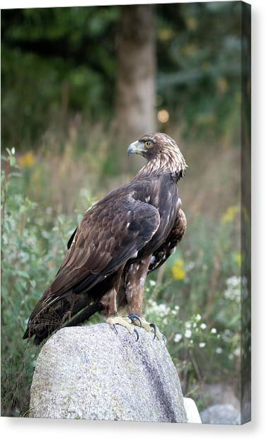 Golden Eagle On Rock 92515 Canvas Print