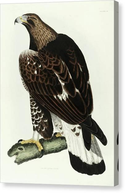 Golden Eagle Canvas Print - Golden Eagle by Prideaux John Selby