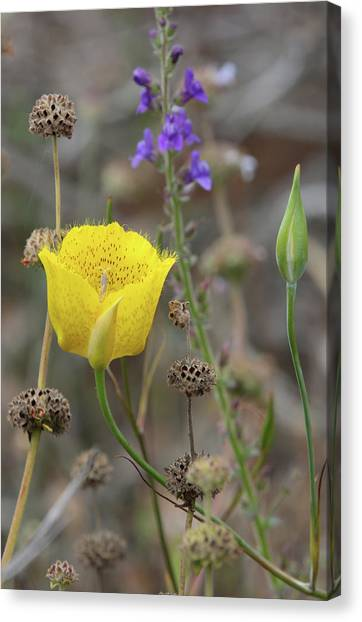 Golden Mariposa Lily  Canvas Print by Robin Street-Morris
