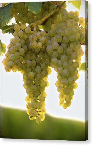 Sonoma Valley Canvas Print - Golden Wine by Farbenrausch
