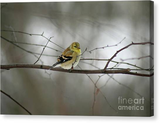 Goldfinch In Winter Looking At You Canvas Print