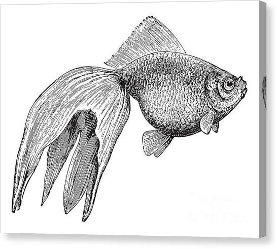 Engraving Canvas Print - Goldfish Veiltail  Vintage Illustration by Hein Nouwens