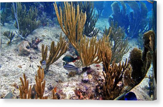 Gorgonian Parrotfish Canvas Print