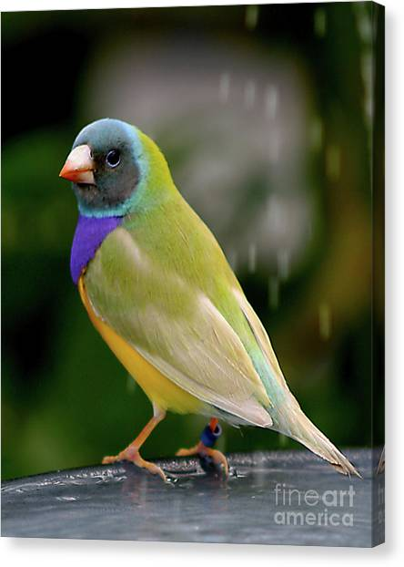 Canvas Print featuring the photograph Gouldian Finch? #2 by PJ Boylan