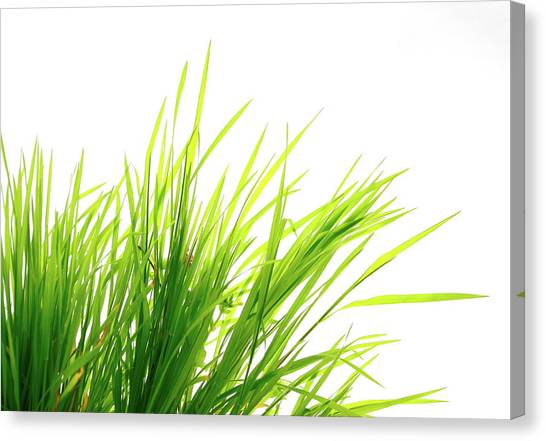 Blade Of Grass Canvas Print - Grass On White by Bgfoto