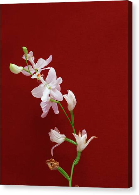 Grass Pink Orchid - White Form Canvas Print