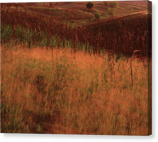 Grasses And Sugarcane, Trinidad Canvas Print
