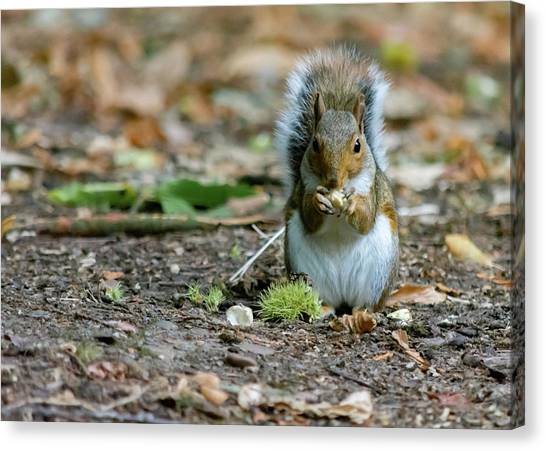 Canvas Print featuring the photograph Gray Squirrel Stood Upright Eating A Nut by Scott Lyons