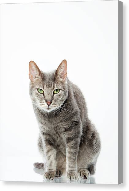Petter Canvas Print - Gray Tabby Cat Glaring Of To The Side by Chris Stein bfb706e0954d
