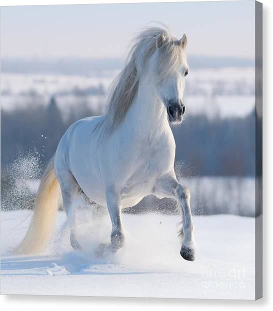 Purebred Canvas Print - Gray Welsh Pony Galloping On Snow Hill by Abramova Kseniya