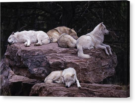 Gray Wolf, Canis Lupus Canvas Print
