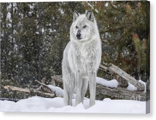 Woodland Canvas Print - Gray Wolf by David Osborn