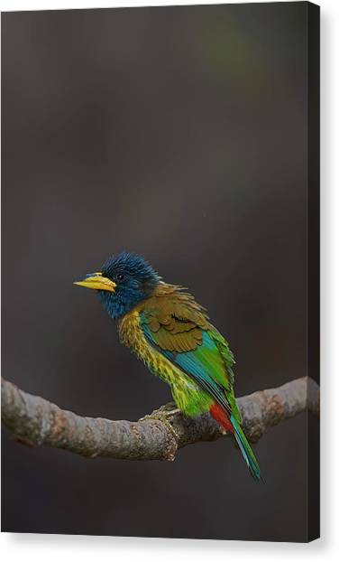 Animals Canvas Print - Great Barbet by Uma Ganesh