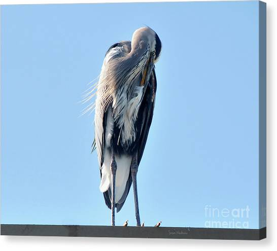 Great Blue Heron Preening On A Roof Canvas Print